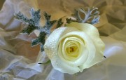 Single White rose Buttonhole with Duster Miller Leaves